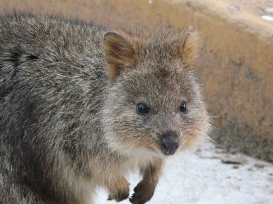 Inquisitive Quokka