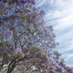 Jacarandas Against the Blue Sky