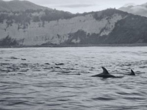 Dolphins Swimming along the Kaikoura Coast