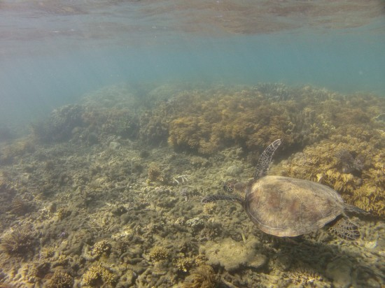 Sea Turtle at Fitzroy Island