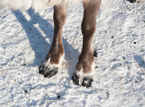 Reindeer Hooves