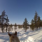 Dashing Through the Snow…On a Saddled Finnish Horse