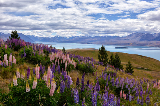 The Hills are Alive with the Colours of Lupins