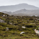 The Sheep of Harris