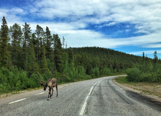 Reindeer Strolling Down the Road