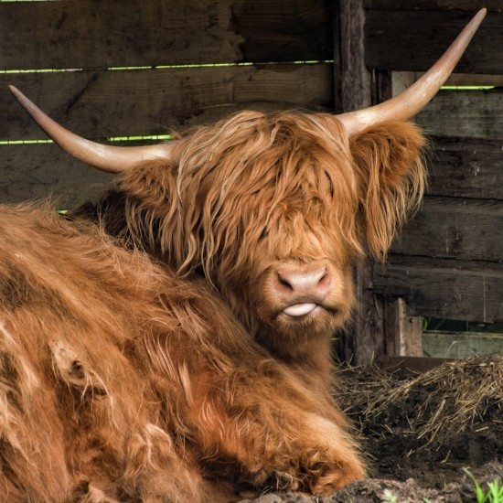 Honey the Hairy Coo