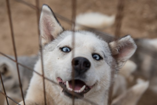 Cross-Eyed Husky