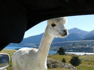 Inquisitive Alpaca