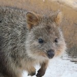 Photo of the Week: Quokka Quokka