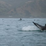 Swimming with the Dusky Dolphins of Kaikoura