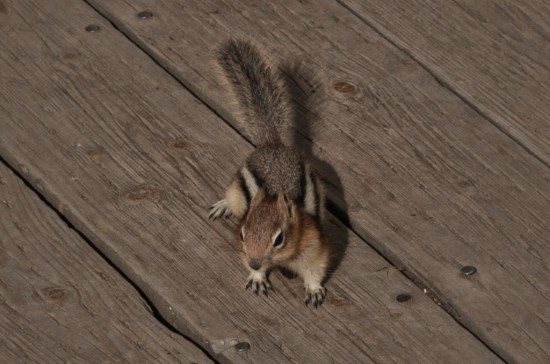 Chipmunk at the Lookout