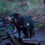 A Nighttime Encounter With Tassie Devils